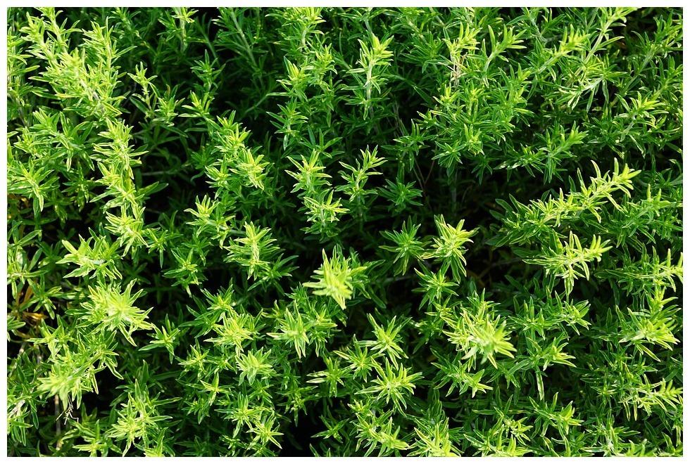 Tymianek - naturalny składnik syropów