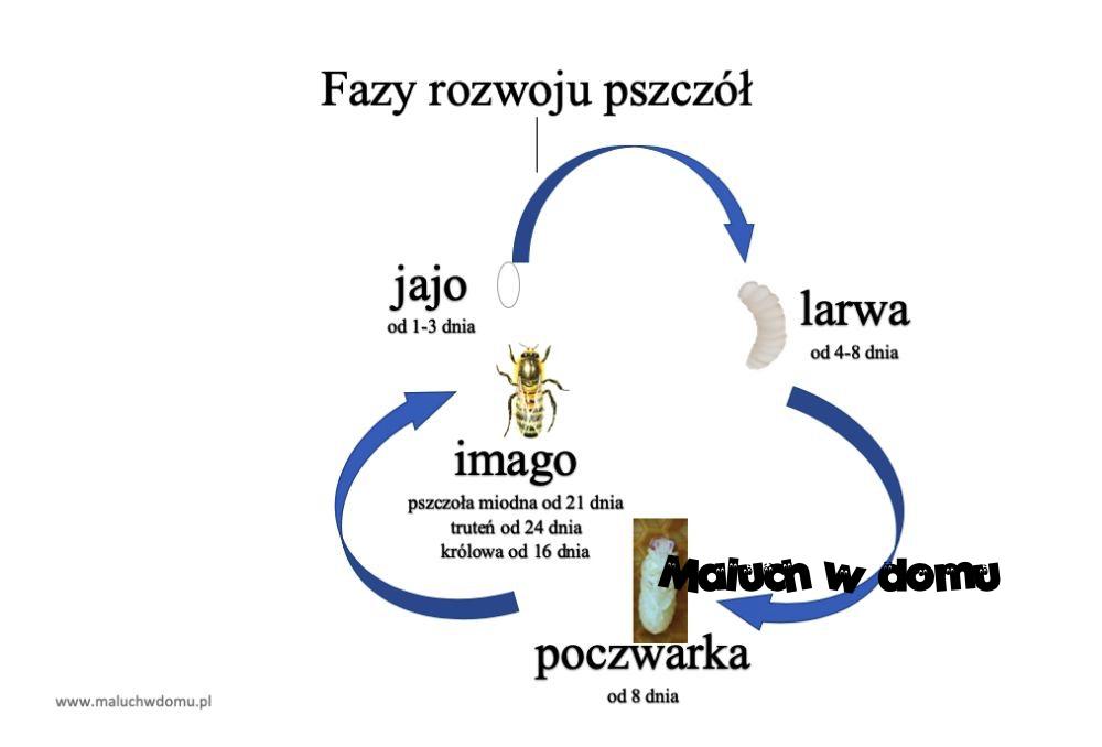 Fazy rozwoju pszczoły